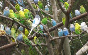 - стая попугаев