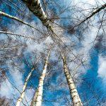 березы на фоне неба